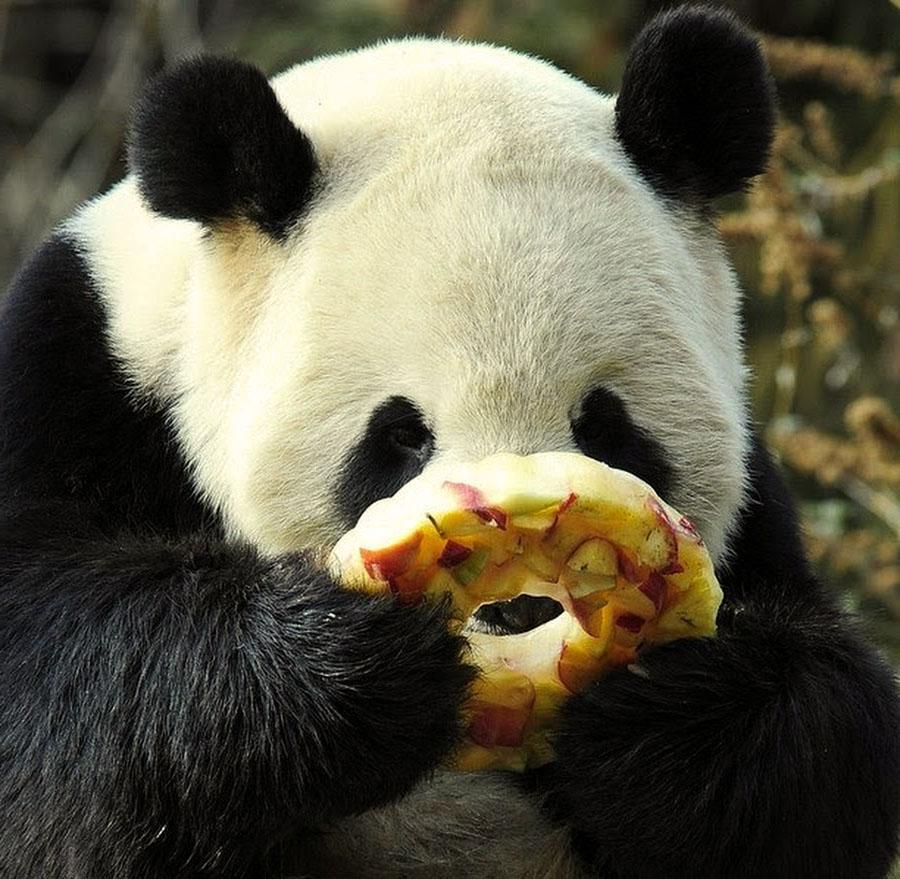 Посмотреть, картинки панды прикольные