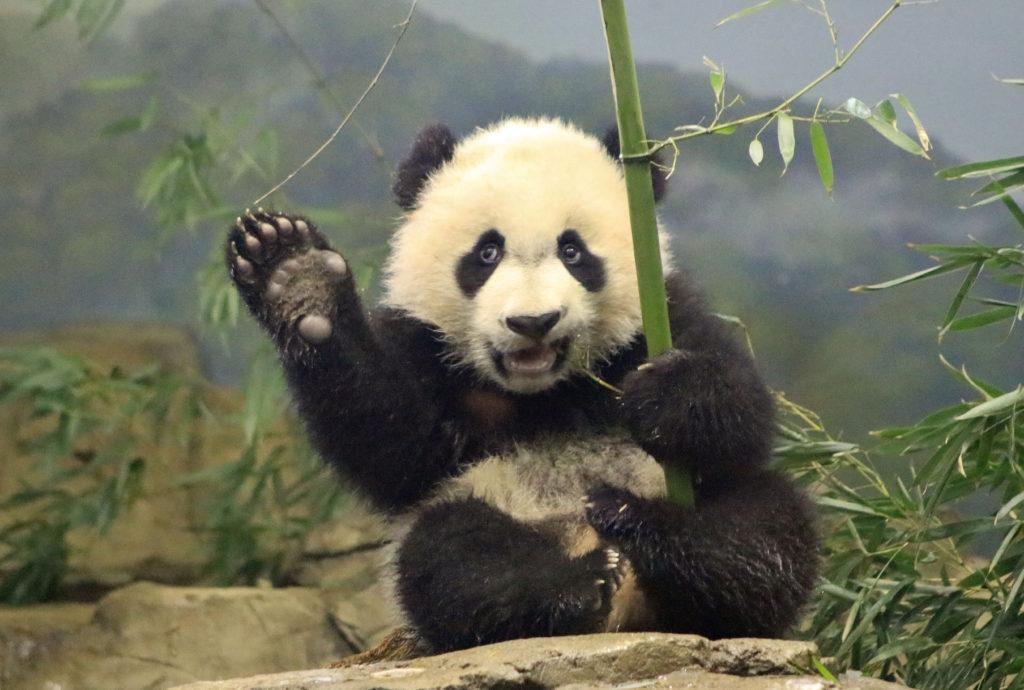 Картинки про панд прикольные, днем дошкольного работника