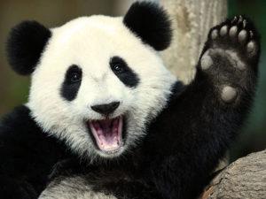 Смешные и прикольные панды (55 фото)