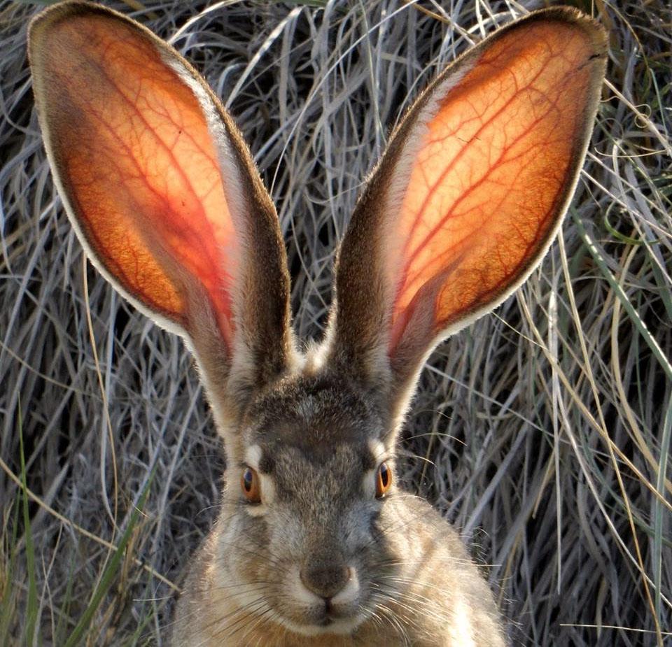 для картинки про уши зайцев народы ловят налима