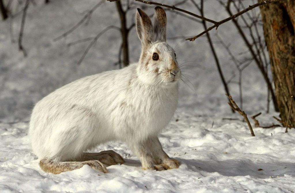 Картинки зайцев прикольные - беляк