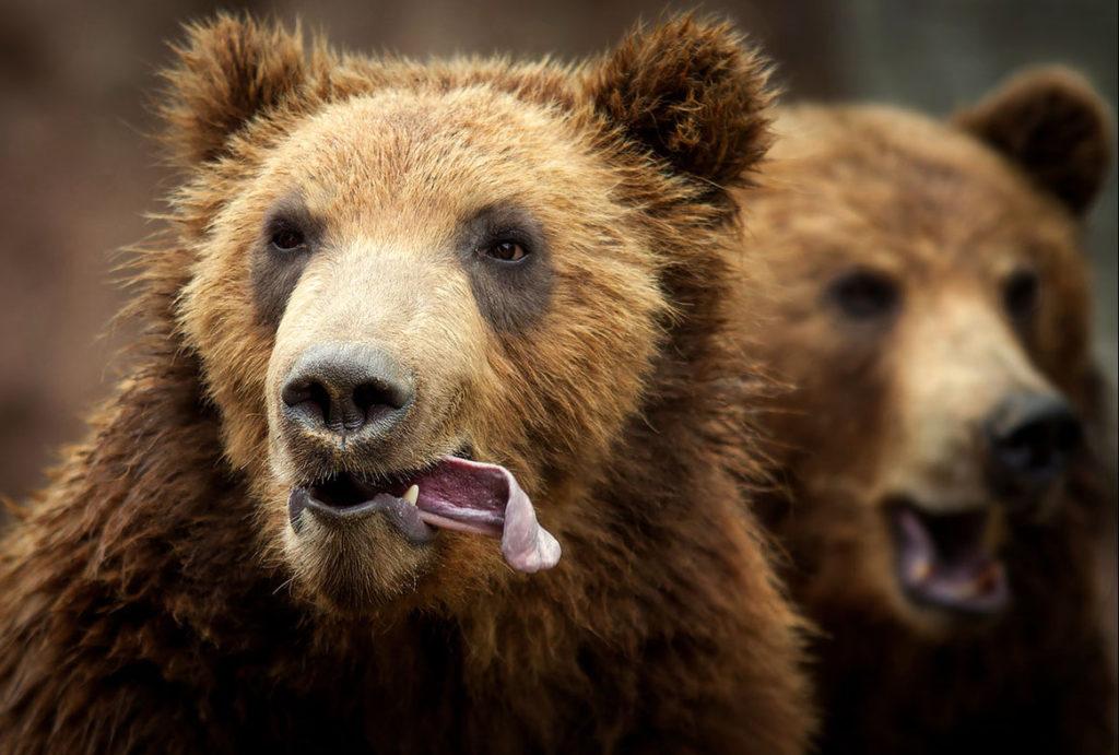 Картинки медведи прикольный