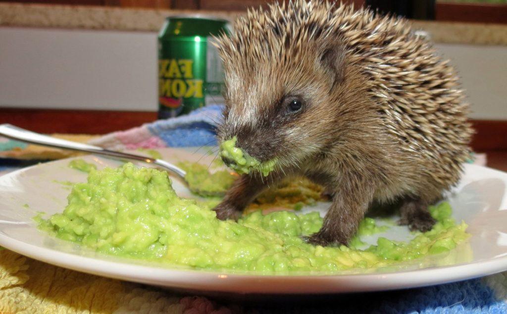 прикольное фото ежиков в тарелке с едой