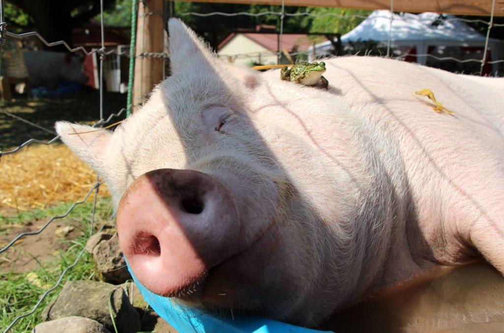 Ленты открытках, картинка свиньи прикол