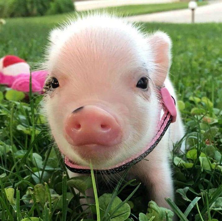 Картинка смешная свинья, про работу