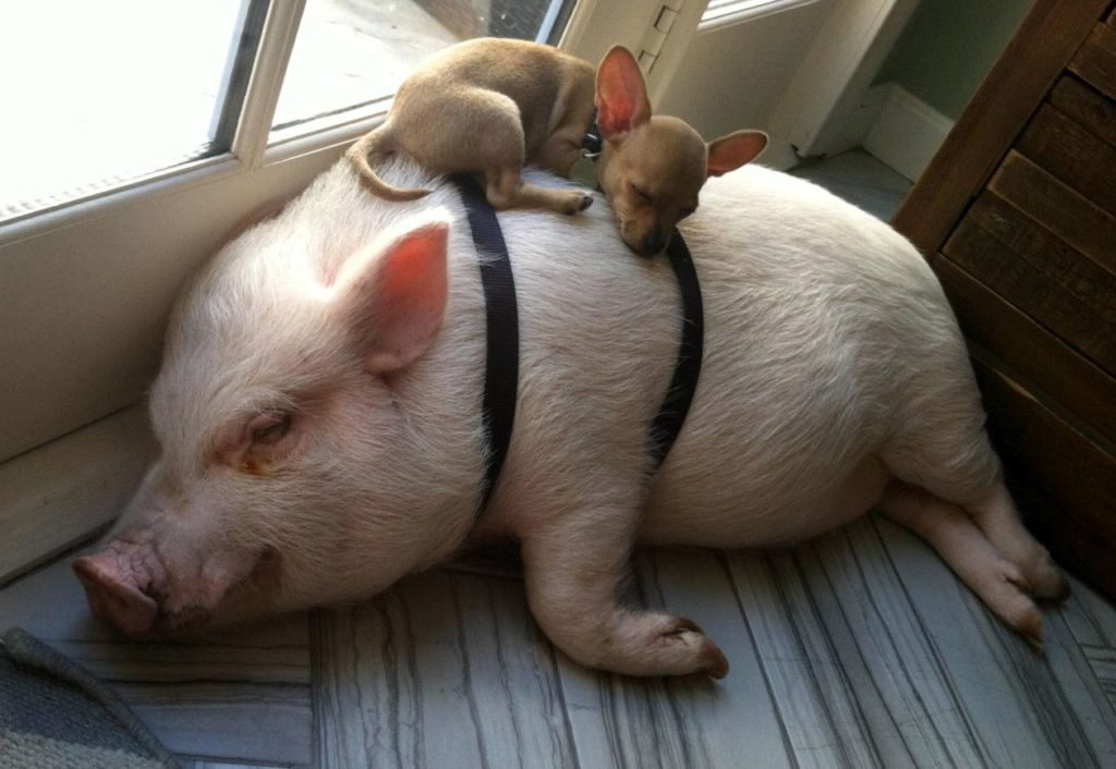Смешные картинки с свиньями