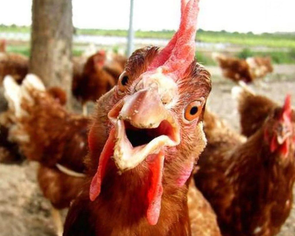 Смешные картинки про куриц, благовещенска живые мерцающие