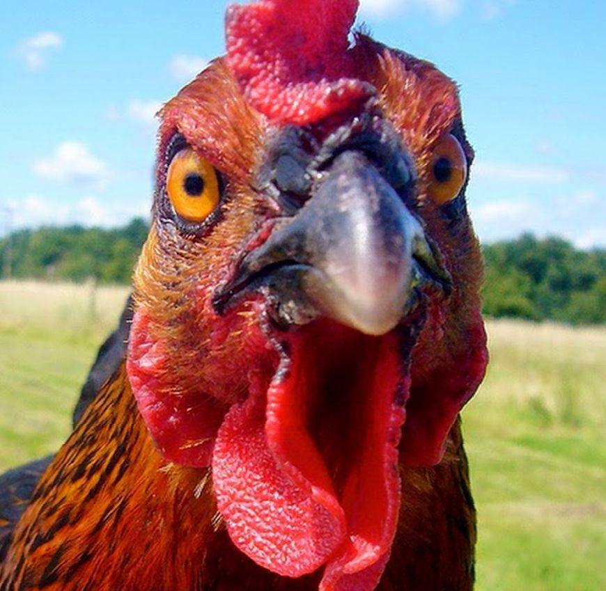 декупажные фото курицы смешные этой статье