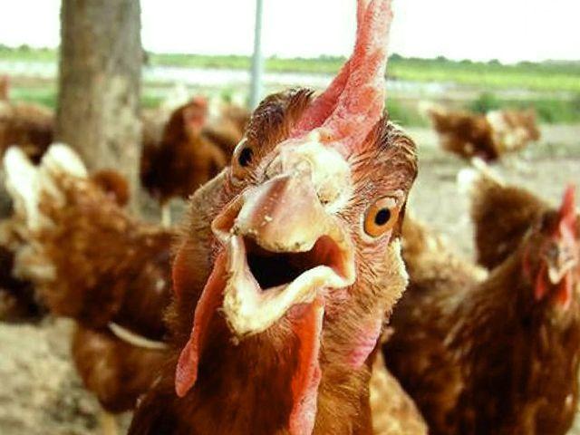 Курицы смешные и прикольные (33 фото)