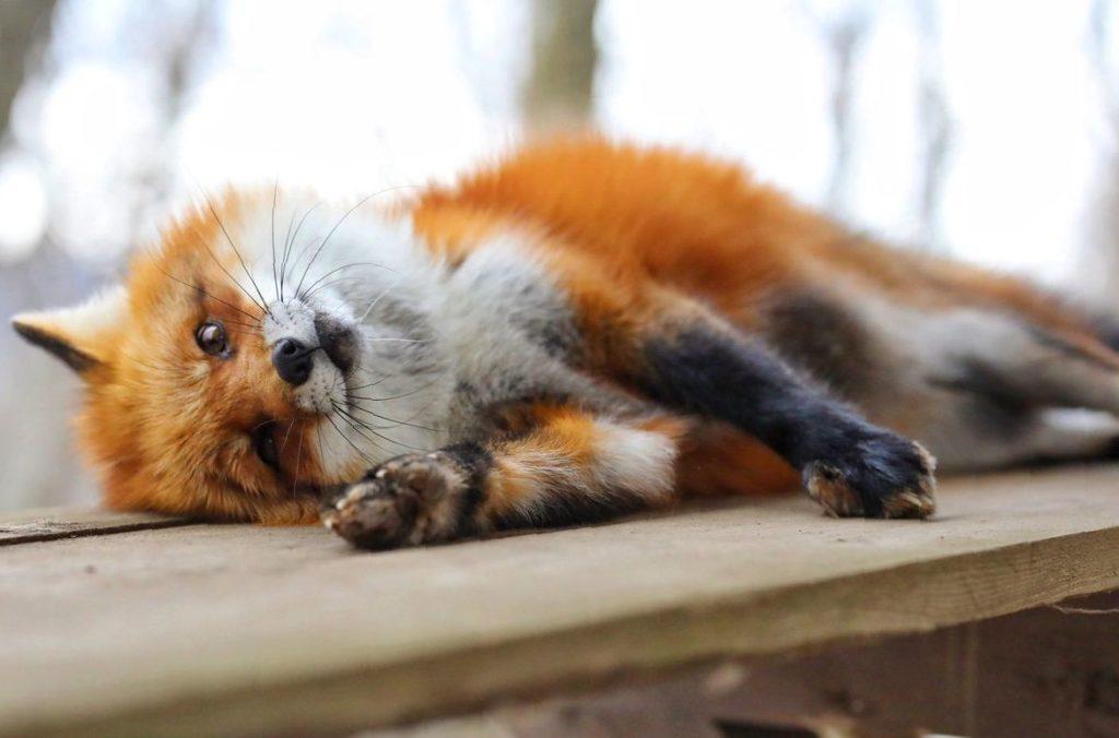 Фото лисы