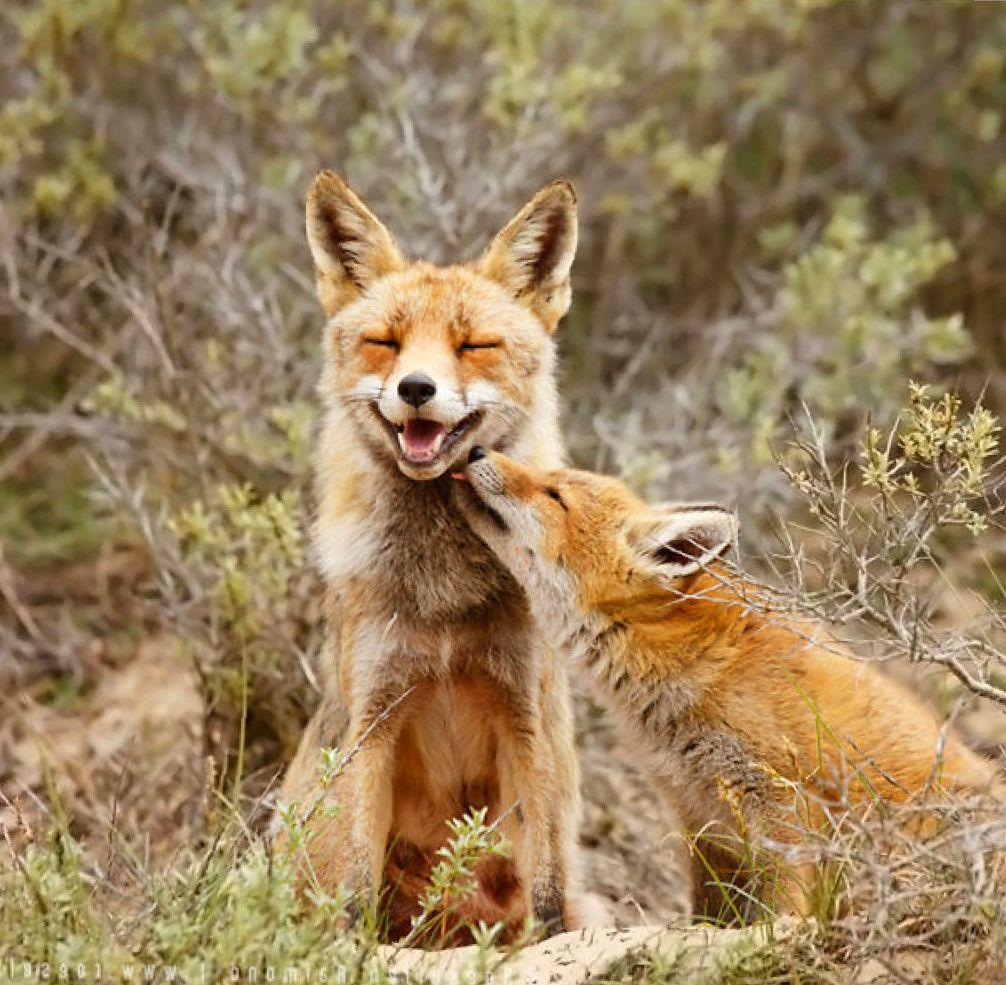 смешные фото лис с детенышами