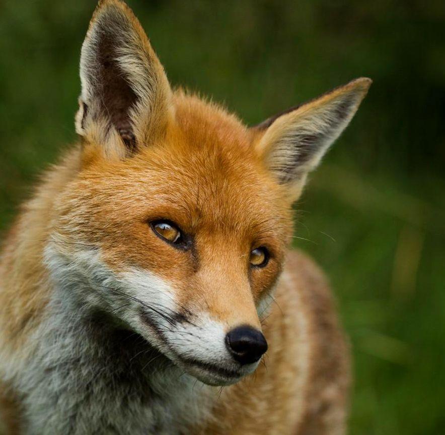 смешная фотография лисы - заигрывает