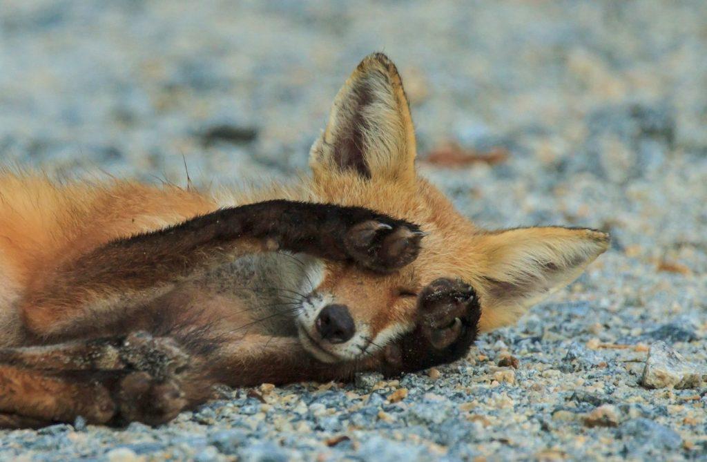 смешное фото лисы, которая закрыла лапами глаза
