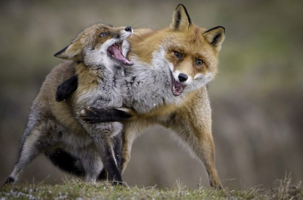 смешные фото лис, которые дерутся