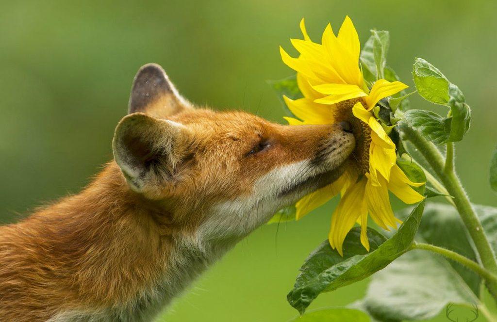 фото смешных лис с подсолнухом