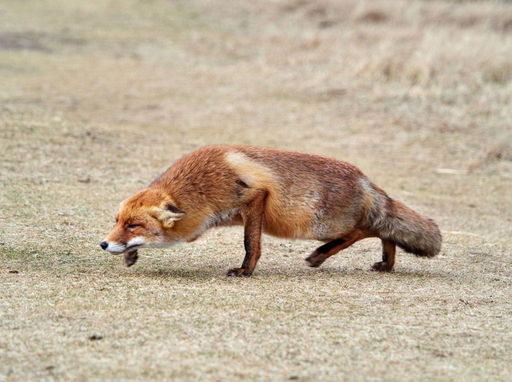 смешное фото лисы, которая крадется