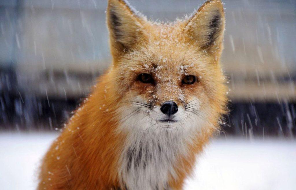 смешное фото лисы под снегом