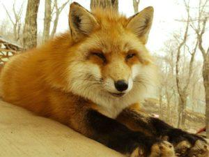 Смешные и прикольные: 55 фото лисы
