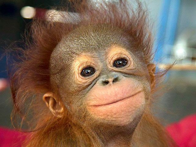 Прикольные и смешные обезьяны (33 фото)